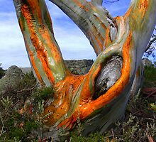Majestic snowgum Charlotte-pass NSW. by helmutk