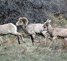 Big Horns Running by Holly Werner