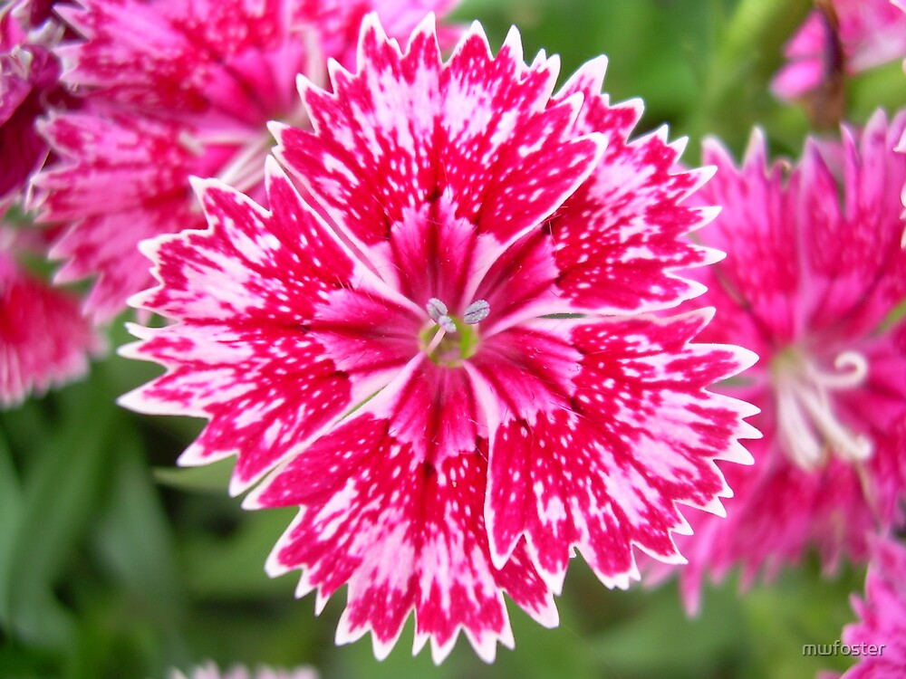 Red/ Pink Dianthus by mwfoster