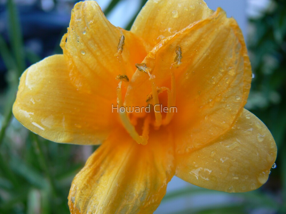 Yellow Bloom by Howard Clem