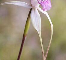 Caladenia interjacens Walpole Spider orchid by dgugeri
