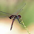 Dragonfly by David  Postgate