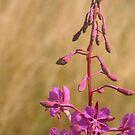 Purple meadow flower by KMorral