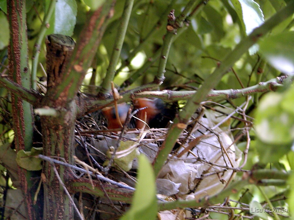 baby birds by Lisa hickman