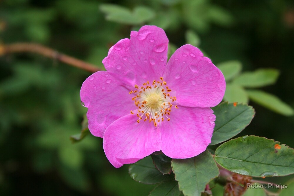 Prickly Rose by Robert Phelps