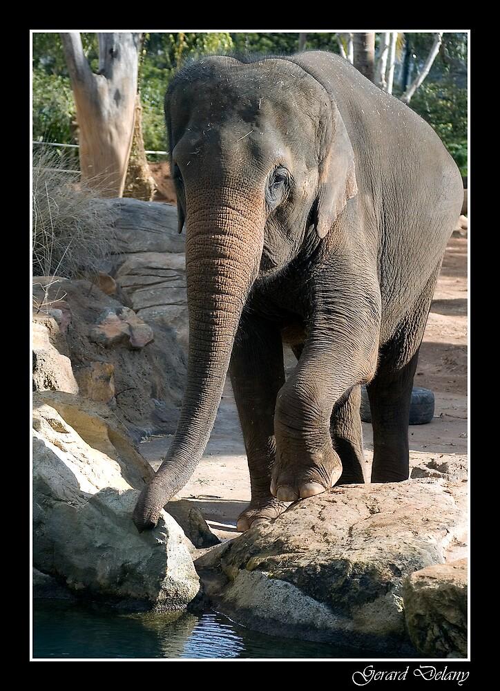 Elephas maximus - Asiatic Elephant  by Gerard Delany