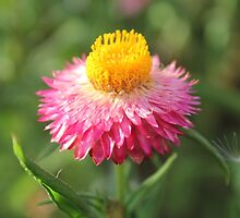 Paper Daisy by Shelomi Doyle