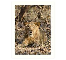 Gir Lion Art Print