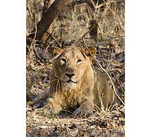 Gir Lion Photographic Print