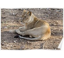 Lioness at rest Poster