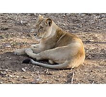 Lioness at rest Photographic Print