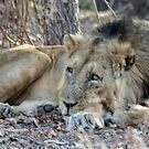 Lion at rest by Pravine Chester