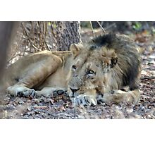 Lion at rest Photographic Print