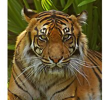 Sumatran Tigress. Photographic Print