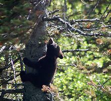 Wild Black Bear Cub Climbing the Tree in Alaska by Brandon Marshall