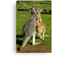 Kangaroo's sharing a moment. Canvas Print