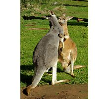 Kangaroo's sharing a moment. Photographic Print