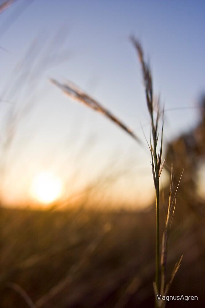 Grass in the sunrise by MagnusAgren