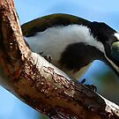 Honeyeater by Julie Just