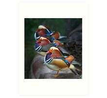 Mandarin Ducks Art Print