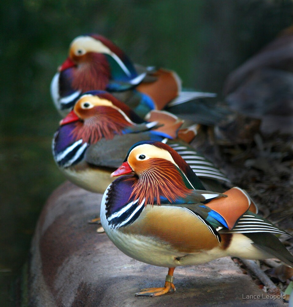 Mandarin Ducks by Lance Leopold