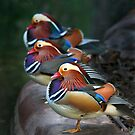 Mandarin Ducks by Lance Leopold