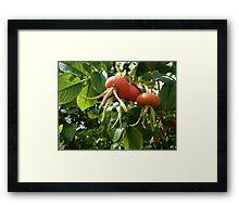 Dog Rose Fruit Framed Print