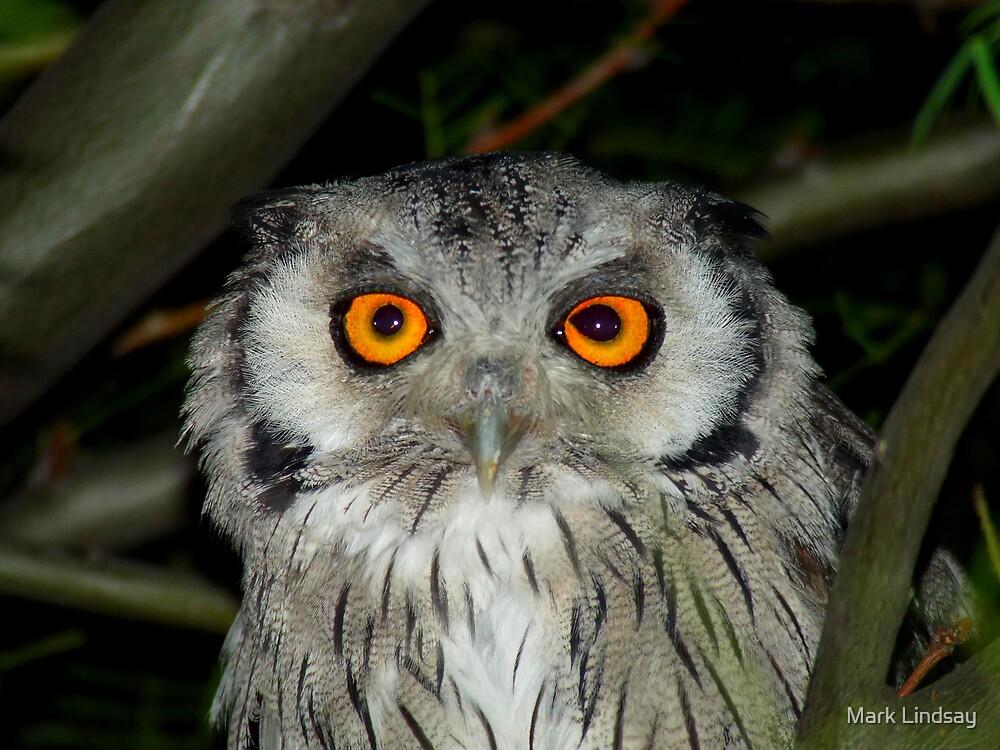 White Faced Owl  by Mark Lindsay