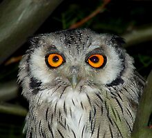 White Faced Owl  by Mark Lindsay