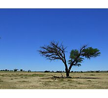 Lone Camelthorn Photographic Print