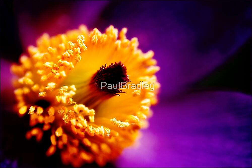 Pulsatilla by PaulBradley
