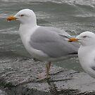Seagulls by 7db7