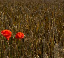 Poppy's at Harvest by lightmonger