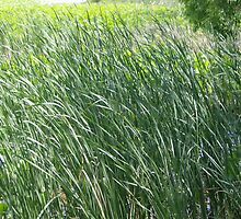 Swaying Pond Grass by steelwidow