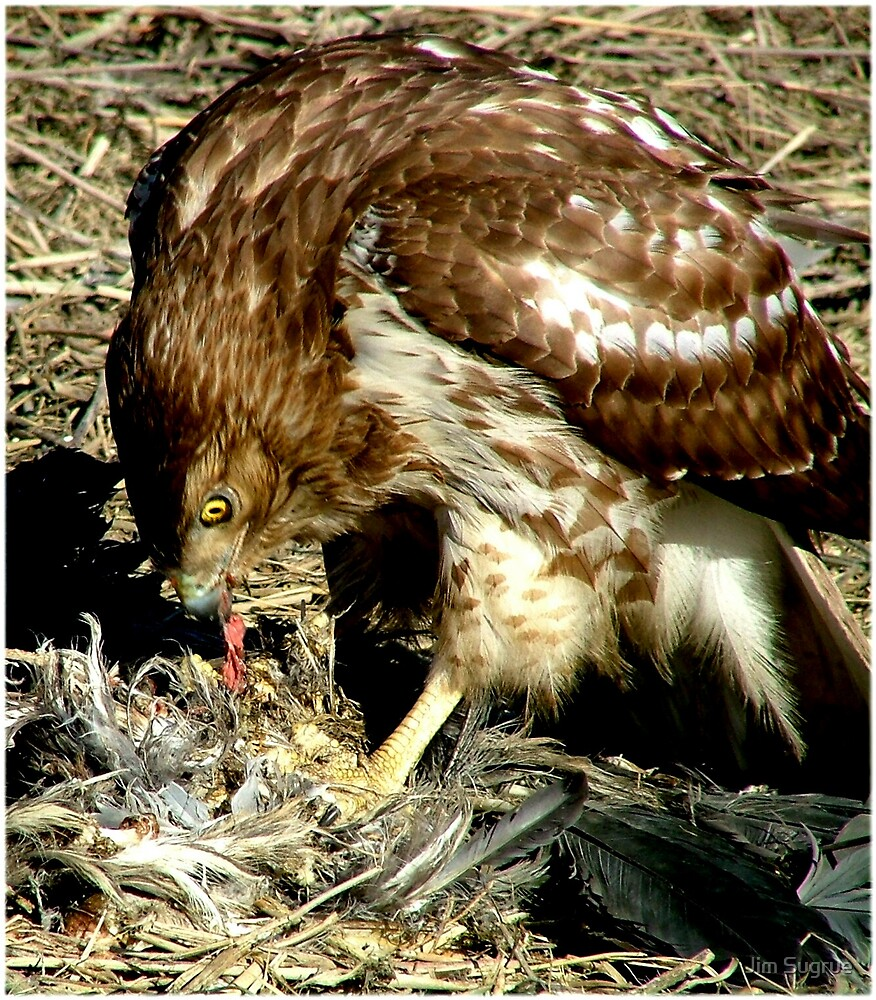 Red Tail Hawk with prey by Jim Sugrue