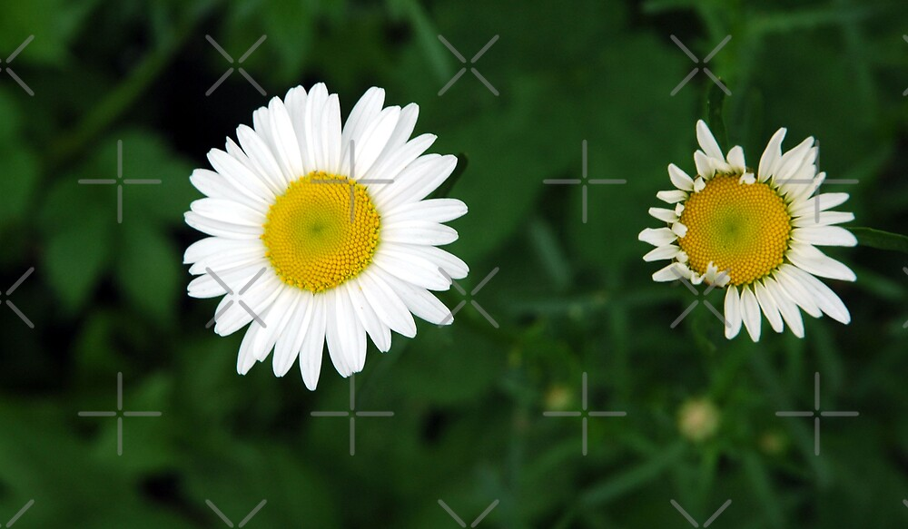 Daisies by Holly Werner