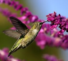Golden Hummer by DARRIN ALDRIDGE
