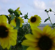 sunflower day by sgranberry