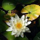 Waterlily Beauty by DARRIN ALDRIDGE