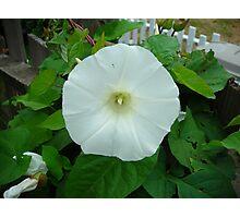 White (Morning Glory) GRRR!! Photographic Print