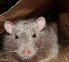 bag rat Sticker