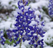 Bluebonnets in the snow by Carrie23