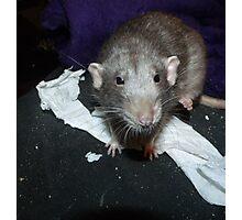 bog roll rat Photographic Print