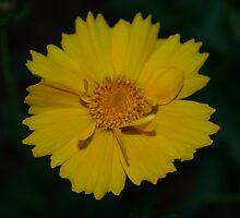 yellow flower by swtdianne122