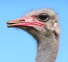 Ostrich by whalexb