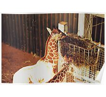Giraffes Eating At Whipsnade Zoo Poster