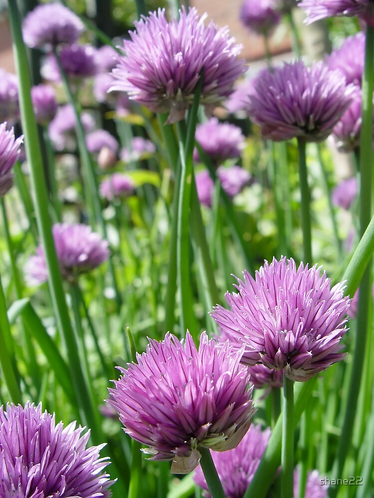 Chives I by shane22