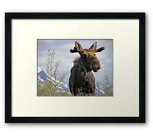 Young Bull in the Tetons Framed Print