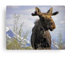 Young Bull in the Tetons Canvas Print