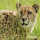Cheeta 4 by kmargetts